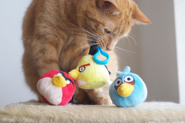 "Political Kitty warns Angry Bird Congress that they may be Voted Out in 2014 unless they pass the ""Build America's Future"" Act and end the Sequester Now! Photo Credit: Angry Birds vs Angry Cats by MSeckington 2"