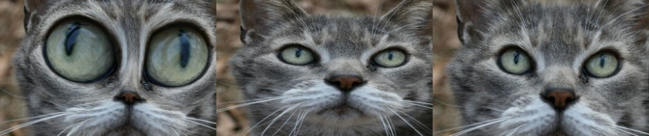 Political cat reacts to Rick Perry's hypocritical comments about the stimulus even though he took $17.4 billion for texas to help create 40,000 jobs. Photo Credit: Divine Vessel's Chubbsie... by exfordy on flickr cc