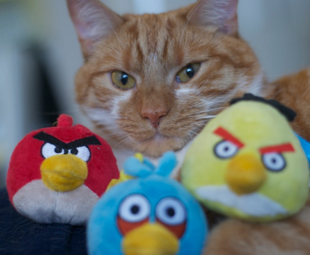 This cat sees lots of women coming forward accusing Herman Cain of sexual harassment. They want Mr. Cain to tell the truth. Photo Credit: Angry birds vs angry cats by mseckington on flickr cc