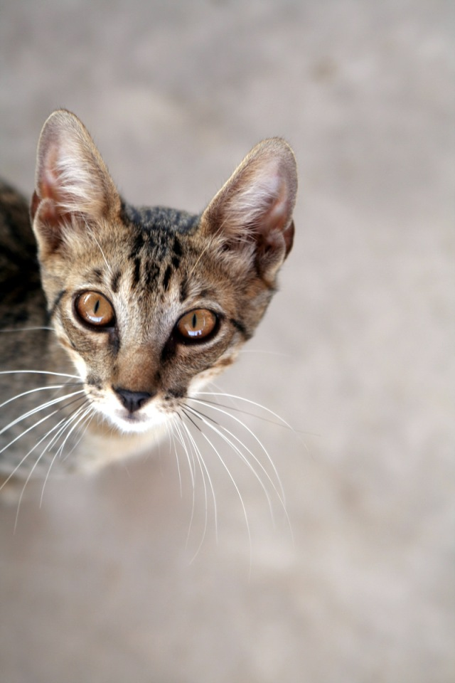This cat thinks the XL Pipeline which would transport tar sands oil is dirty and bad for cats and people. Photo credit: cat by ilkerender on flickr cc
