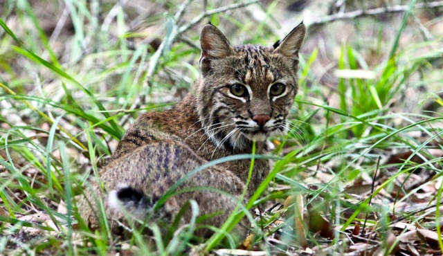 This Florida cat wants Gov. Rick Scott to stop making it harder for Floridians to register to vote and cast a ballot. Photo credit: Florida Bobcat by minds-eye on flickr cc
