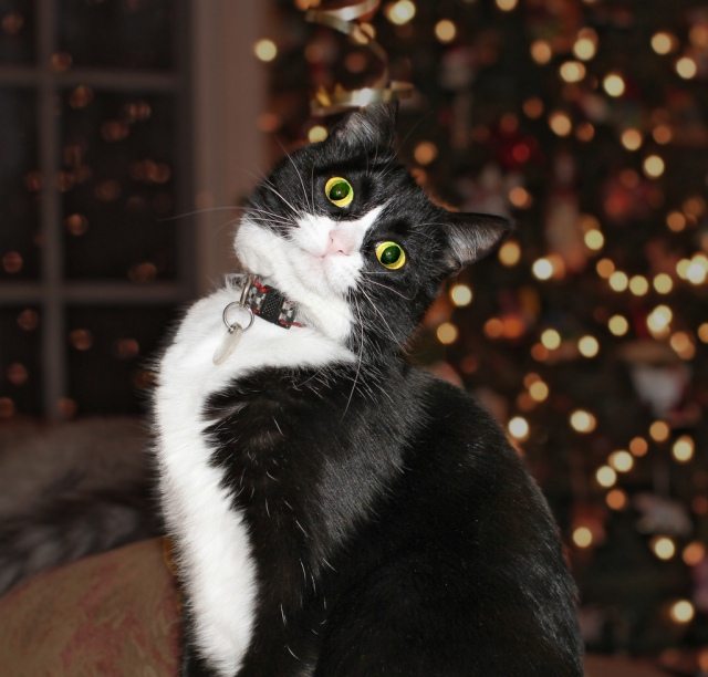 Lillian the Christmas Cat wishes everyone a Happy Holiday and a very Happy New Year! Photo Credit: Lillian by carterse on flickr cc