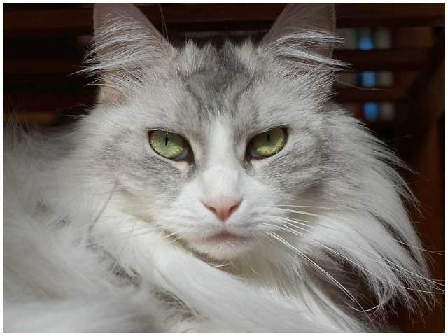 "Maine kitty was displeased with the way the GOP Caucuses were held. She said ""Count all the Counties Please."" Photo Credit: ruth6 by Dan Hershman on flickr cc"