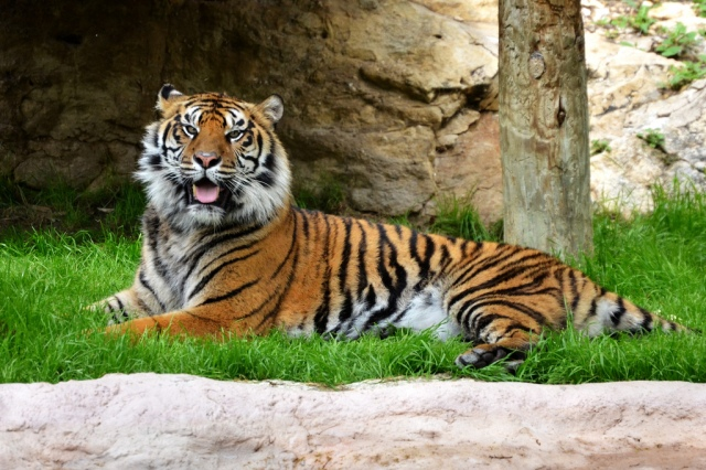 This Big Cat is happy about the U.S. Court of Appeals in D.C.s decision to have disclosure of donors in non-profits like Karl Rove's Crossroads GPS. Big Roar!!! Photo Credit by: Happy Tiger! by MrGuilt on flickr CC