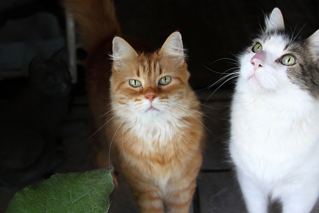 Election cats were shocked that Scott Brown said he would only debate Elizabeth Warren if former Senator Edward Kennedy's widow, Victoria Kennedy, doesn't endorse a candidate for the Massachusetts U.S. Senate seat. What? Photo Credit: bc-cats-by-john-schanlaub-on-flickr-cc.jpg