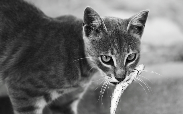 This cat smelled the fishy voter id laws and decided to go directly to fishy smell. Photo Credit: cat vs fish by ultimcodex on flickr cc