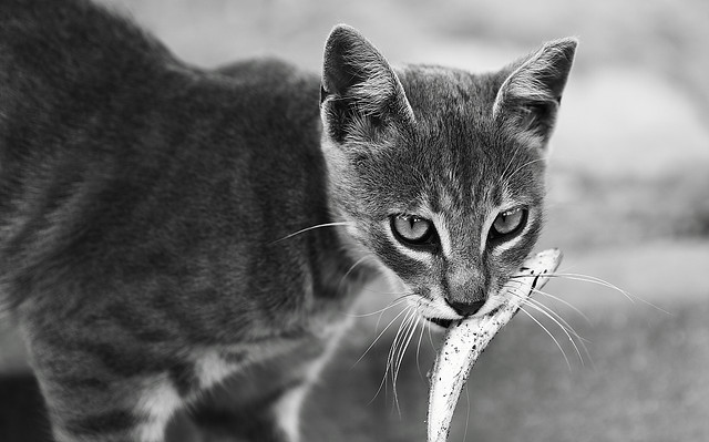 "This Cat wants Congress to protect her right to have safe non-GMO fish. She says repeal the ""Monsanto Protection Racket"" Rider in Section 735 of H.R. 933. Photo Credit: cat vs fish by ultimcodex on Flickr cc"
